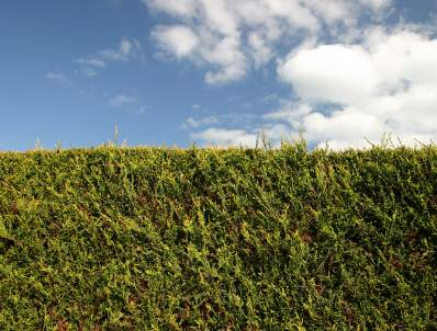 High hedges :: tree-