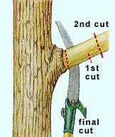Cutting a larger branch