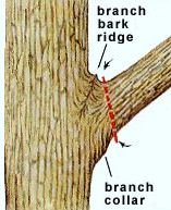 Branch bark collar